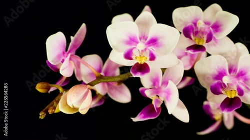Time lapse of a white orchid blossom with purple petal tips opening. This species is a Phalaenopsis equestris orchid.