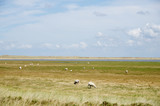 Sheep in Sylt island - 226574832