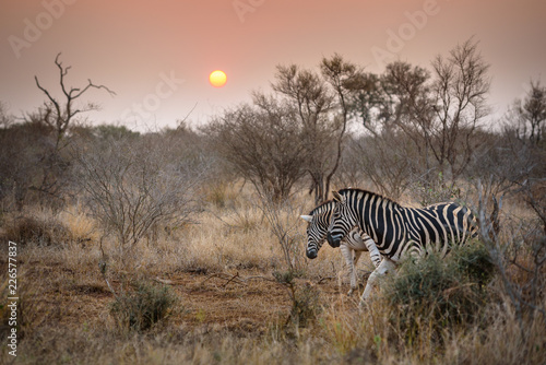 Zebra during sundowner in africa  - 226577837