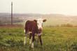 calf standing - 226581019