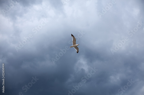 Foto Murales The stormy sky, the white seagull under the thunderclouds