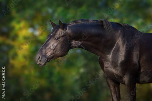 Black stallion portrait outdoor