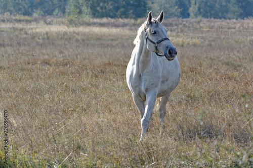 Biały koń spaceruje po polu