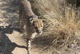 Guépard en savane africaine