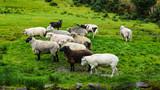 eleven different breeds of sheep on an Irish hillside