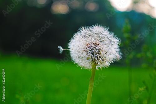 dandelion on background of green grass - 226600019