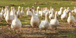 Leinwanddruck Bild - many white geese on a meadow