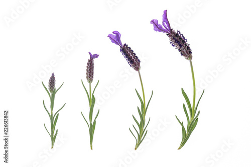 collection of French lavender flowers isolated on white background  - 226613842
