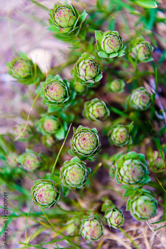 Close-up on native flower plant in Annapurna region, Himalayas, Nepal. - 226630049