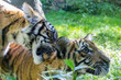 Juvenile Tiger Cub Siblings Playing, Biting Back