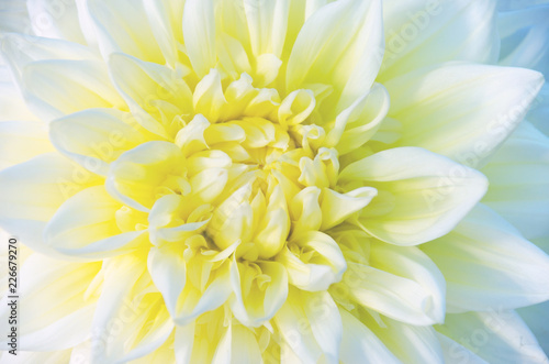 An isolated dahlia in a garden. Yellow dahlia.Close up. Macro dahlia