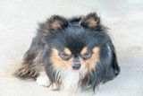 Long-haired tricolor chihuahua dog