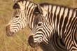 Zebra in the African bushveld