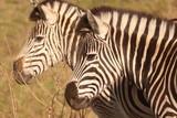 Zebra in the African bushveld - 226688239