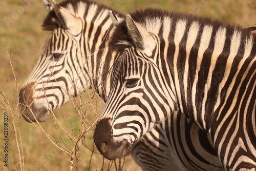 Poster Zebra in the African bushveld