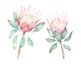 Exotic flower. Watercolor protea set. Hand drawn illustration - 226697472