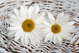 Flowers camomile