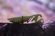 mantis on leaf
