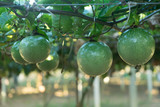 The green passion fruit with water drop on the vine.