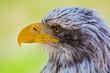 Weißkopfseeadler I