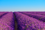 Lavender field rows of beautiful blooming lavender bushes and blue sky