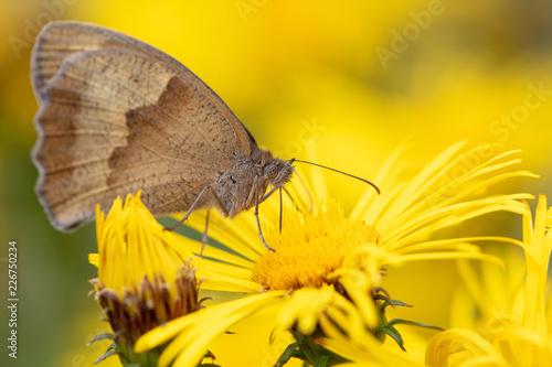 Große Ochsenauge (Maniola jurtina) auf gelber Blüte