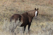 Wild Mustang at Theodore Roosevelt National Park in North Dakota, USA
