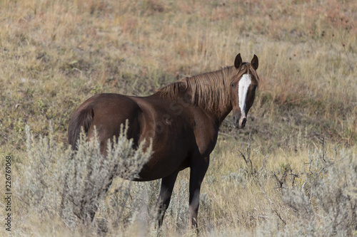 Wild Mustang at Theodore Roosevelt National Park in North Dakota, USA