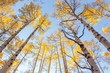 Looking up at aspen trees in Colorado in autumn
