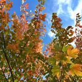 Saison, automne, feuillages coloré, érable du Canada - 226776862