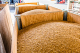 freshly harvested wheat in warehouse hall, quality control. - 226779634