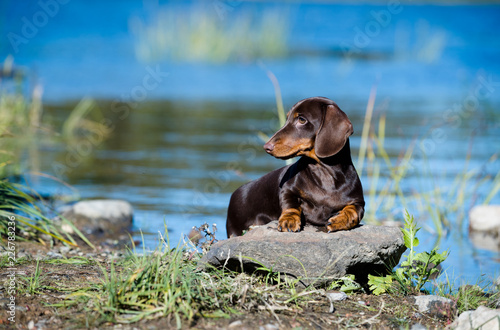 Leinwanddruck Bild Dachshund dog stand on the background of the river.