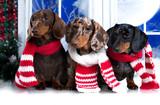 Happy New Year Christmas  dachshund,  holidays and celebration pet