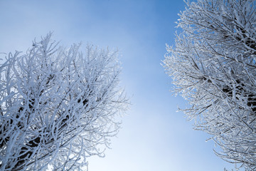 Trees covered with snow and frost