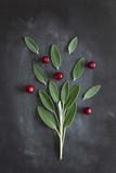 Шалфей, свежие зеленые листья и ягоды клюквы - 226793293