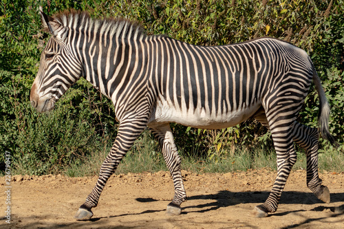 Tanzania zebra - 226798437