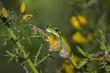 Mediterranean tree frog acrobatics