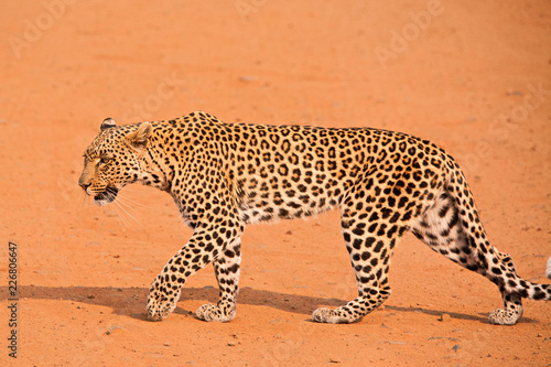 Fototapeta Young leopard crossing the road while stalking an impala herd