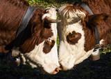 Two Cows Abondance
