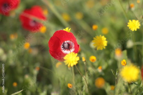 Poppy and hawkweed flowers in a field. - 226816015