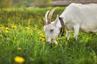 Female  goat grazing on meadow with grass and dandelions, detail on head with pointed horns.