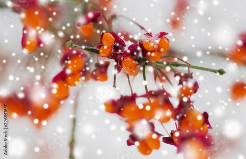 Foto Murales nature and environment concept - spindle tree or euonymus hamiltonianus branch with fruits in winter