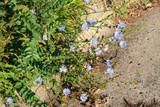 Cornflowers on the curb