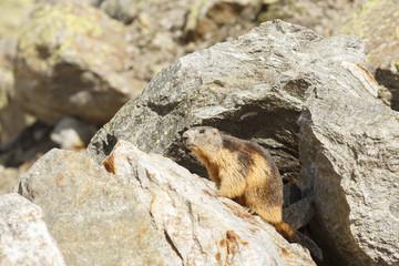 Murmeltier (Marmota marmota) Späher in den schweizer Alpen