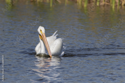 Foto Murales White Pelicans in a Florida marsh