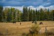 A small herd of mules in a field in western North America.