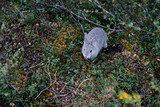 Small wild rabbit in tundra - 226877243