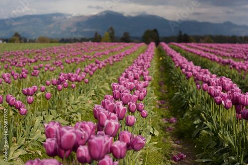 Foto Murales Tulip field landscape