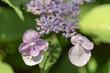 hydrangea serrata flowers