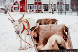 Deer and sledge in Finland - 226887634